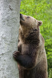 Brown bear sniffing Royalty Free Stock Photos