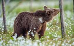 Brown Bear sniffs tree in the summer forest on the bog among white flowers. Natural Habitat. Brown bear, scientific name: Ursus royalty free stock image