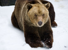 Brown bear in the snow Stock Images