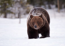 Brown bear in the snow Royalty Free Stock Images