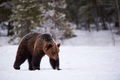 Brown bear in the snow Royalty Free Stock Image