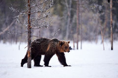 Brown bear in the snow Stock Photo
