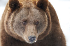 Brown bear in snow Royalty Free Stock Images