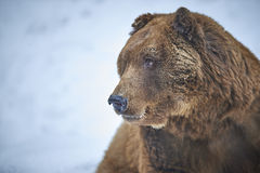 Brown bear in snow Royalty Free Stock Image
