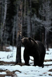Brown bear on snow Stock Photography