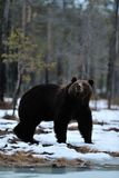 Brown bear on snow Stock Images