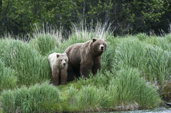 Brown Bear Sow and Cub Stock Photo