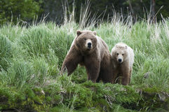 Brown Bear Sow and Cub Royalty Free Stock Images