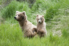 Brown Bear Sow and Cub Royalty Free Stock Photo