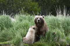 Brown Bear sow and Cub Stock Photography