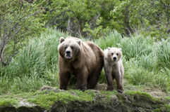 Brown Bear sow and Cub Royalty Free Stock Image