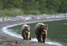 Brown Bear sow and Cub Royalty Free Stock Photography