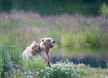 Brown bear sow and cub Stock Images