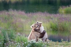 Brown bear sow and cub Stock Image