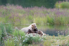Brown bear sow and cub Royalty Free Stock Photos