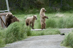 Brown Bear Sow and Cubs Royalty Free Stock Images
