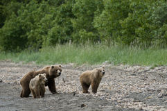 Brown Bear sow and Cubs Royalty Free Stock Photography