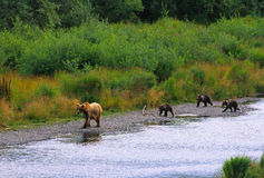 Brown Bear Sow and Cubs Near Lake Royalty Free Stock Image