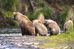 Brown bear sow and her cubs. Watching for salmon on Brooks River, Alaska Royalty Free Stock Photography