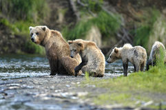 Brown bear sow and her cubs. Watching for salmon on Brooks River, Alaska Royalty Free Stock Photos