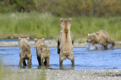 Brown bear sow and her three cubs. At the river looking for salmon Stock Image
