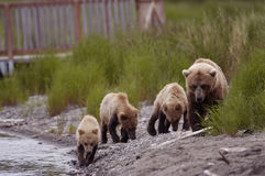 Brown bear sow with her three cubs. Walking along the bank of Brooks River Stock Photos