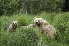 Brown bear sow and her two cubs. With one licking the sow Royalty Free Stock Photos