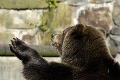 Brown bear speaks good-bye. Brown bear in zoo speaks good-bye. Kaliningrad, Russia Stock Photos