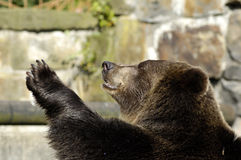 Brown bear speaks good-bye Stock Images