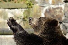 Brown bear speaks good-bye. Brown bear in zoo speaks good-bye. Kaliningrad, Russia Stock Images