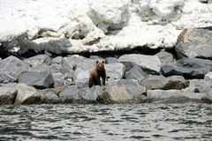 Brown bear in the Spring by the sea. Far East, Royalty Free Stock Image