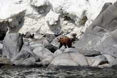 Brown bear in the Spring by the sea. Far East, Royalty Free Stock Photography