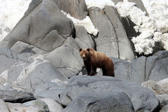Brown bear in the Spring by the sea. Far East, Royalty Free Stock Photo