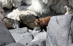 Brown bear in the Spring by the sea. Far East Royalty Free Stock Photography