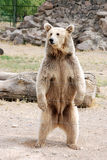 Brown bear standing. Impatient brown bear stood up when wating for food Royalty Free Stock Images