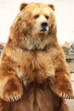 Brown bear standing. Close-up portrait Royalty Free Stock Photos