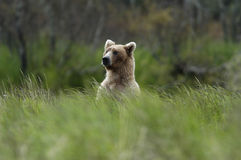 Brown bear standing above the grass Stock Photography