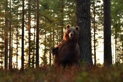 Brown bear standing against a tree. stock images