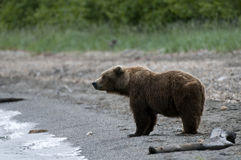 Brown bear standing on the beach Stock Photo