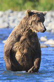 Brown bear standing in blue water in Alaska. Brown bear standing on rear legs Royalty Free Stock Photos