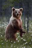 Brown bear standing Stock Photography