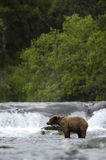 Brown bear standing in Brooks River. Hunting for salmon Stock Photos