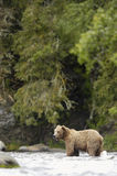 Brown bear standing in Brooks River Royalty Free Stock Photo