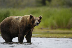 Brown bear standing in Brooks River Royalty Free Stock Photos