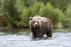 Brown bear standing in Brooks River Stock Image