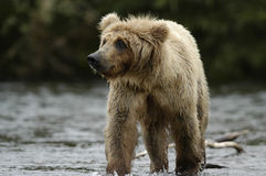 Brown bear standing in Brooks River Stock Photo