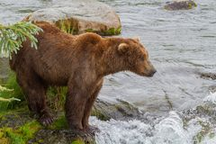A Brown Bear Standing By Brooks River Royalty Free Stock Photography
