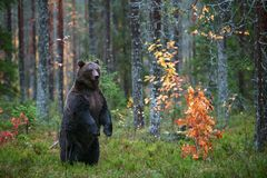 Brown bear standing on his hind legs in the autumn forest. royalty free stock photo