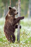 Brown bear standing on his hind legs in the summer forest among white flowers. Front view. Natural Habitat. Brown bear, scientific stock photos