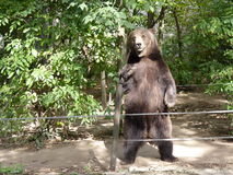 The brown bear standing. On his hind paws Royalty Free Stock Image